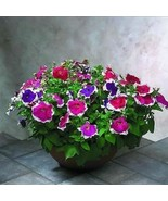 SHIP FROM USA Petunia Picotee Mix Flower Seeds (Petunia Multiflora F2) 4... - $38.21