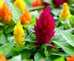 40 Seeds Celosia Mix Flower Seeds, Ornamental summer plants seeds fresh seeds - $4.99