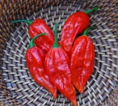 25 Bhut Jolokia Ghost Chili Seeds - world's hottest peppers - $5.97