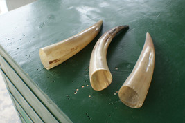 Three cow horns cleaned polished 13.5, 13.7 & 1... - $77.02