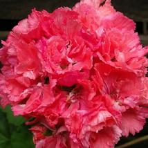 Best Price 10 Seeds Liuyu Pinkish Red Geranium Flower,Diy Flower Seeds DL100C Dg - $5.99