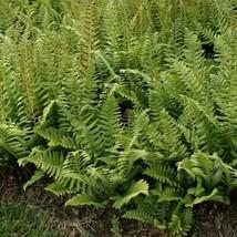 Christmas fern 20 rhizome (Polystichum acrostichoides) image 1