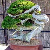 Best Price 20 Seeds Bonsai Pine Tree Plants, Fs Diy Flower Seeds - $6.79