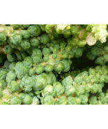 500 Pcs Seeds Brassica Oleracea Green Long Island Brussel Sprout Vegetab... - $16.00