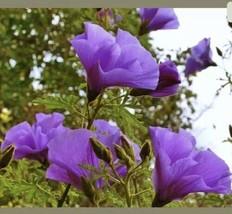 Alyogyne huegelii Blue Hibiscus Live Plant 1 Gallon Pot In Bloom Now - $18.24
