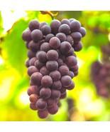 3 Cuttings Black Manukka Grape, Seedless Grape Vine Cuttings, Zone 6 to 11 - $10.77