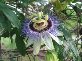 Passiflora caerulea Blue Crown | Pint Plant   - $42.98