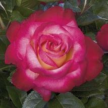 2 Gal. Live Plant Dick Clark Aars Winner Rose Outdoor Planting Home Gard... - $135.99