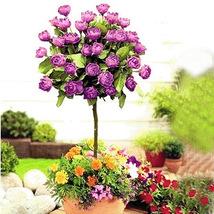 50 Purple Rose Tree Seed  - $4.99