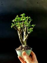"Crassula Ovata Bonsai ""lucky plant"", 10-years old  - $29.50"