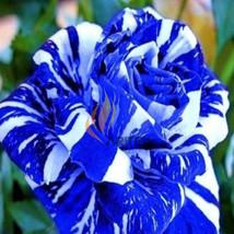 Strip rose blue 1 thumb200