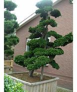 1 Packet of 100 Seeds Hinoki Cypress - Cupressaceae Pinales Plantae - $14.65
