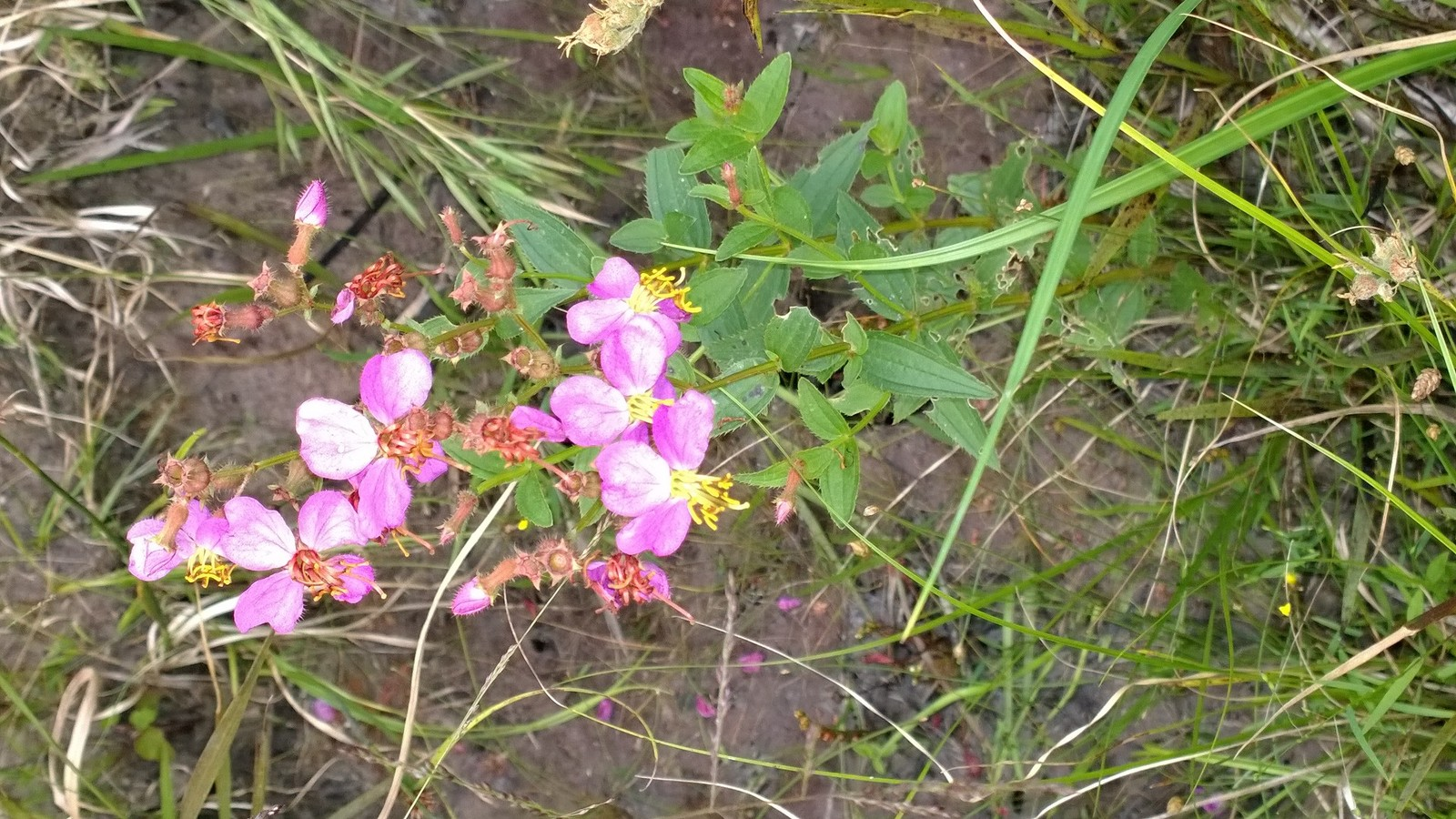 Organic Native Plant, Virginia Meadowbeauty, Rhexia Virginica, bog plant