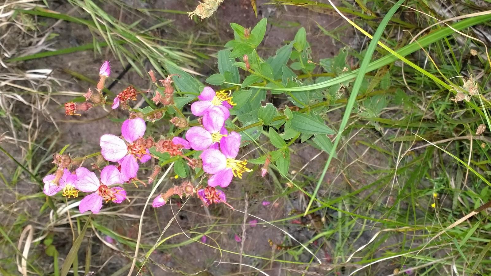 Organic Native Plant, Virginia Meadowbeauty, Rhexia Virginica, bog plant