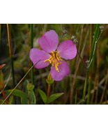 Organic Native Plant, Virginia Meadowbeauty, Rhexia Virginica, bog plant - $3.50