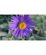 Organic Native Plant, Showy Aster, Aster spectabilis, Fall Butterfly plant - $3.50