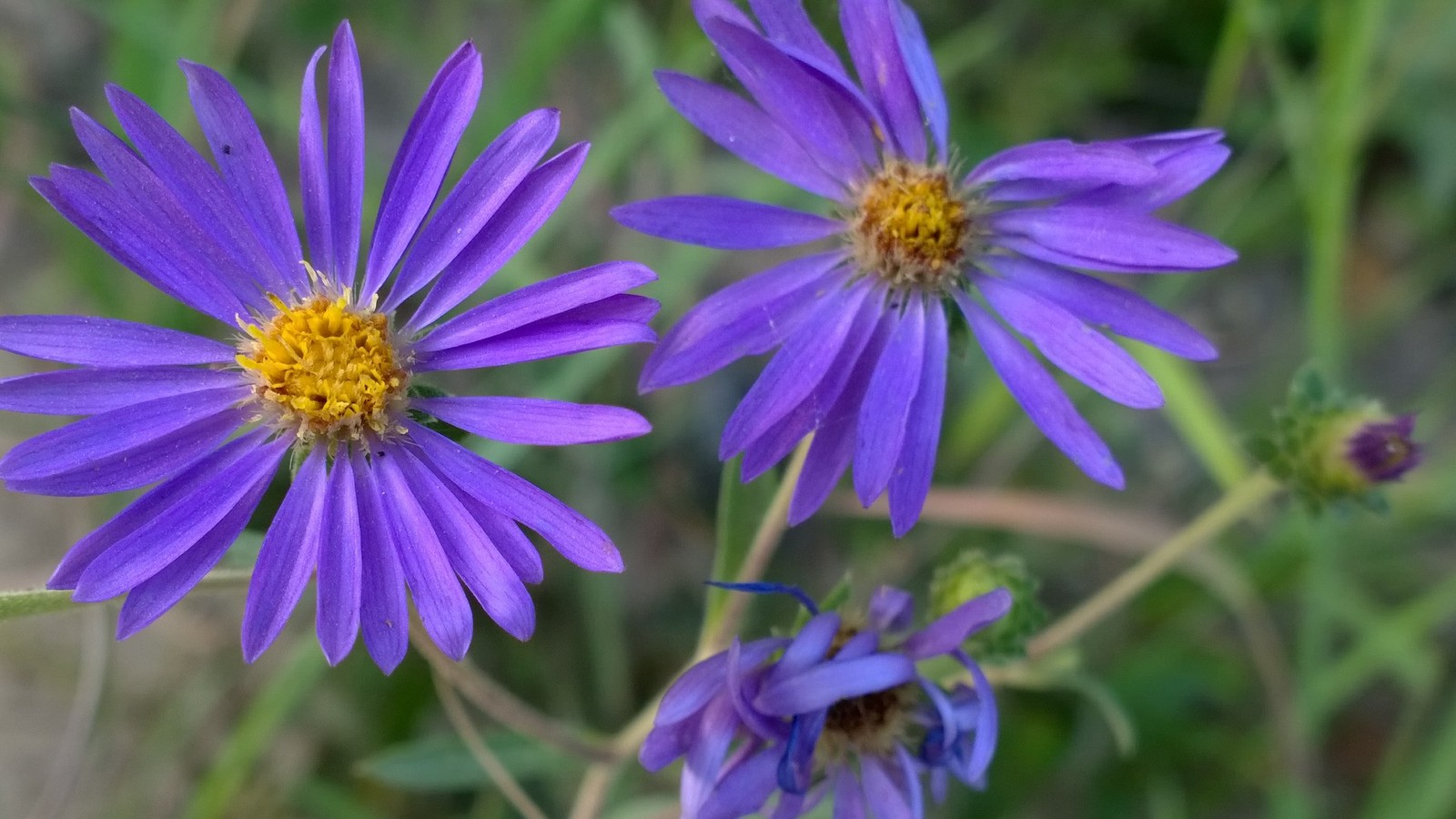 Organic Native Plant, Showy Aster, Aster spectabilis, Fall Butterfly plant