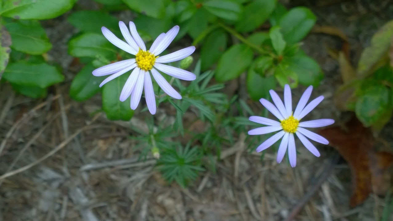 Organic Native Plant, Stiff Leaved Aster, Aster linarifoliu