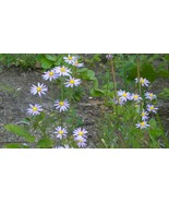 Organic Native Plant, Stiff Leaved Aster, Aster linarifoliu - $3.50