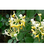 10 Seeds - Climbing vines Honeysuckle Lonicera potted plant flower  - $11.33
