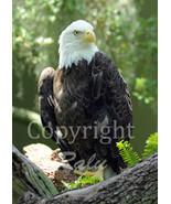 Eagle Birds of Prey Nature Wildlife Photography  5x7 Original Close-up P... - $9.99