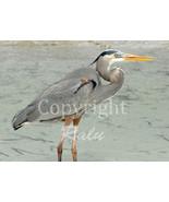 Blue Heron Birds Nature Wildlife Photography 5x7 Original Close-up Photo - $9.99