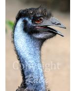 Blue Emu Birds Nature Wildlife Photography 5x7 Original Close-up Photo - $9.99