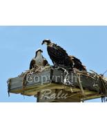 Eagle Birds of Prey Nature Family Wildlife Photography  5x7 Original Clo... - $9.99