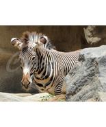 Zebra Nature Wildlife Photography 5x7 Original Close-up Photo - $9.99