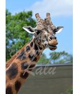 Giraffe Nature Wildlife Photography 5x7 Original Close-up Photo - $9.99