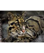 Clouded Leopard Big Cats Nature Wildlife Photography 5x7 Original Close-... - $9.99