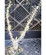 Fouquieria (Idria) columnaris Baja Boojum Tree ... - $9.84
