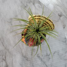 Turkey with Air Plant, Live Tillandsia Airplant in Bird Candle Holder Planter image 4