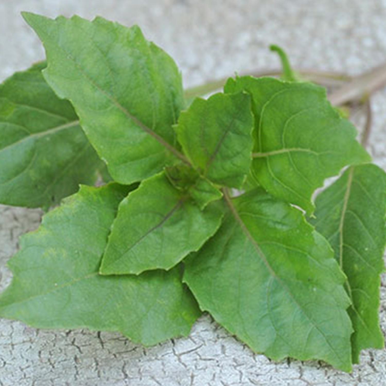 how to grow persian basil