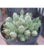 Cumulopuntia boliviana Light Green Mostly Spine... - $7.87