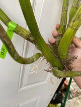 Schomburgkia grandiflora Myrmecophila Species Orchid Plant Blooming 1201A image 3