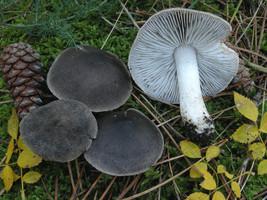 20 g Sterile Fresh Tricholoma GREY KNIGHT Mushroom Spawn Spores Seeds My... - $10.68