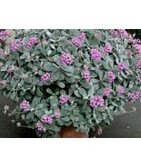 KALANCHOE pumila 1 rooted plant stem silver gray flower dust plant - $4.90