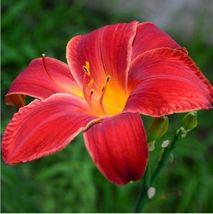 HAPPY FLOWER 2 Bulbs BURING True Lily Bulbs Perfume Flower High germination - $2.99