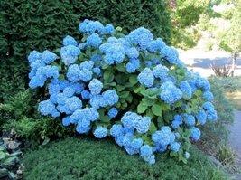 1 Gallon Trade Pot of Nikko Blue Hydrangea Established Perennial Rooted - - $47.52