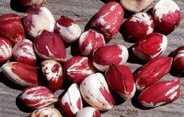 Texas Red and White Peanut Seeds 5-8 Peanuts 4gm Open-Pollinated Heirloo... - $15.99