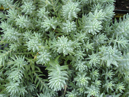 Ten Sedum reflexum Blue Spruce - 10 Live Fully Rooted Perennial Plants by Hope S - $27.70