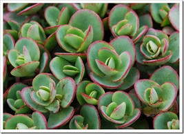 20 Sedum 'Lime Zinger' - Twenty Live Fully Rooted Perennial Plants by Hope Sprin - $87.70