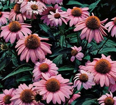 Five Echinacea  Purpurea Magnus  - Five Live Fully Rooted Perennial Plants by Ho - $37.70