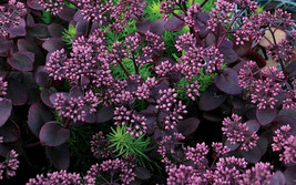 Twenty Sedum Cherry Tart - 120 Live Fully Rooted Perennial Plants by Hope Spring - $87.70
