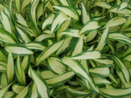 Five Hosta  Moonstruck - Five Live Fully Rooted Perennial Plants by Hope Springs - $29.70
