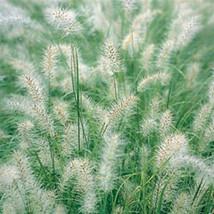 Five Cassian Feather Reed Grass - Ornamental Grasses - 5 Perennial Plants - Penn - $37.70