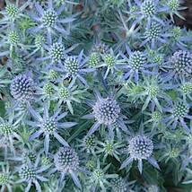 ERYNGIUM 'Blue Hobbit' - 5 Dwarf Sea Holly  - Five Live Perennial Plants by Hope - $37.70