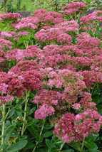 Ten Sedum spectabile Autumn Fire   - 10 Live Fully Rooted Perennial Plants by Ho - $67.70