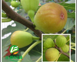 Fen jin proud fig figs without flowers small seed when the results of 5 seeds pack thumb155 crop